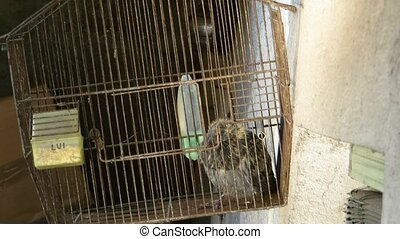 bird cage - young pigeon in a bird cage