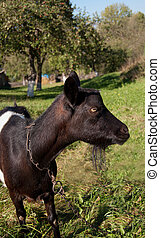 young animal goat - portrait of a young animal goat standing...