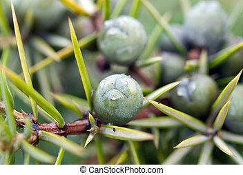 fruits of juniper tree close up