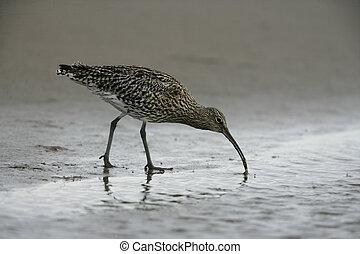 Curlew, Numenius arquata, single bird on mudflats,...