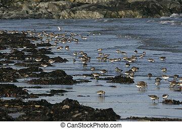 Dunlin, Calidris alpina, group birds in water, South Uist,...