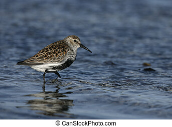 Dunlin, Calidris alpina, single bird in water, South Uist,...