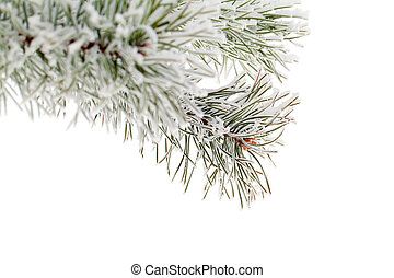 Hoarfrost. - Pine branch covered with hoarfrost isolated on...