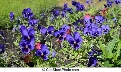 viola pansy flower bloom