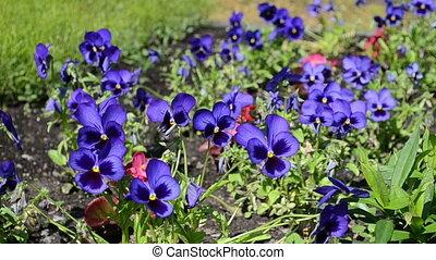 viola pansy flower bloom - garden blue viola violet pansy...