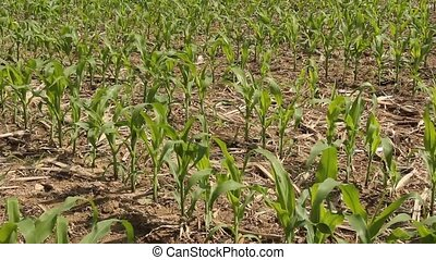 young corn field - farmers spring corn field