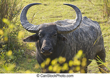 Wild Bull Asiatic Buffalo - Large male Asiatic Buffalo in...