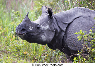 Indian Rhino - Great Indian One Horned in Rhinoceros...