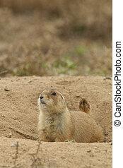 Cute Prairie Dog