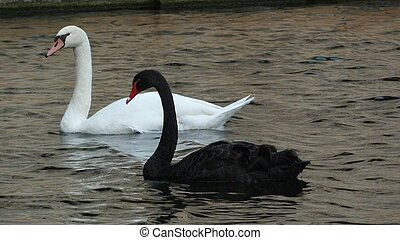 Black and White Swans - A pair of swans, Black and White,...