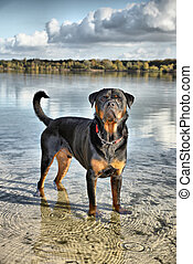 Rottweiler dog - big Rottweiler dog standing in a lake in...