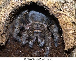bird eaging spider in his cave - Brachypelma Albopilosum,...