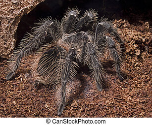 BIRD EATING SPIDER - Lasiodora parahybana, one of the...