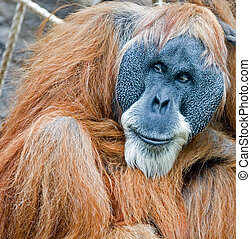 Old Orang Utan - Portrait of an old male orang utan in the...