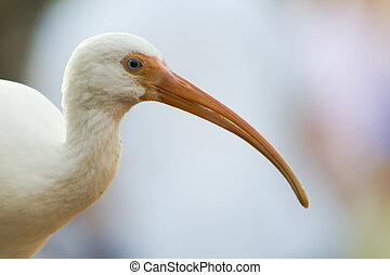 Ibis - Closeup of an Ibis bird, which is a pretty common...