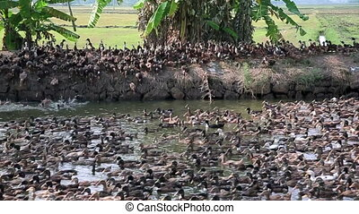 Large colony of ducks jumping in canal in Kerala Backwaters