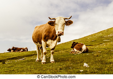 Funny cow looking at you