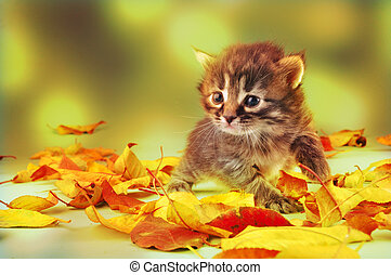 small 20 days old kitten in autumn leaves - Young 20 days...