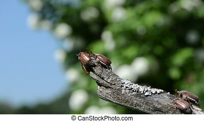 rut beetles boarded an old branch of trying to fly crawls on...