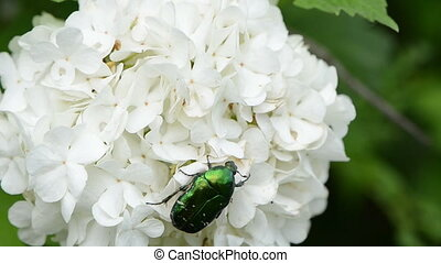 green coleopteran bug - coleopteran beetles cetoniidae shiny...