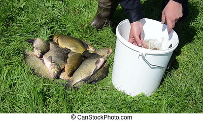 fish put bucket - hand take big slippery shiny fish on the...
