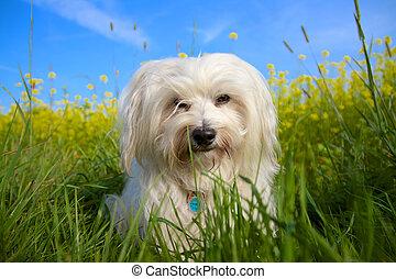Braver Hund - Ein Kleiner Langhaariger Havaneser sitz in...