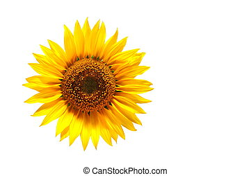 sunflower - background with sunflower for happy summer or...