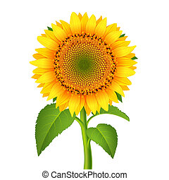 Sunflower with pedicle isolated on white vector illustration