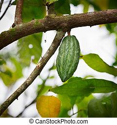 Cocoa pod on the tree - Cocoa tree (chocolate tree) green...