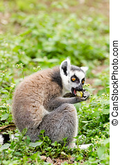 Lemur catta eating