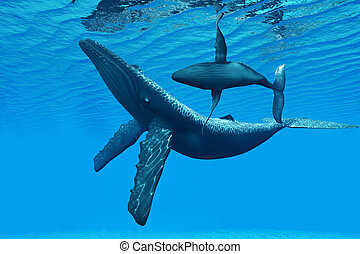 Humpback Whale Bonding - A Humpback Whale calf swims around...