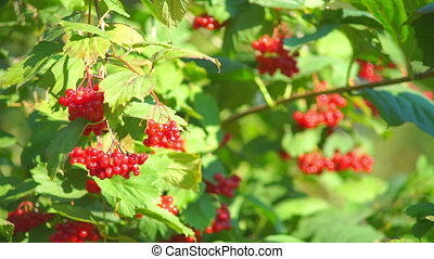 Guelder rose Viburnum opulus berries closeup - Guelder rose...
