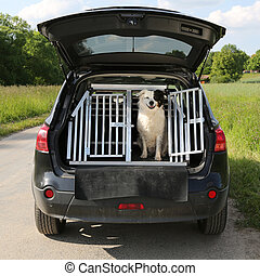 Dog pet in a car wants to travel - Dog pet sitting in a car...