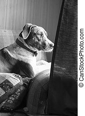 Dog - Black and white portrait of bird dog staring out...