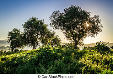 Olive trees at sunrise in summer