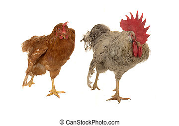 cock and brown hen on a white background...