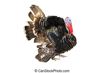 Turkey - Two turkeystanding on white background