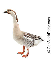 goose on a white background