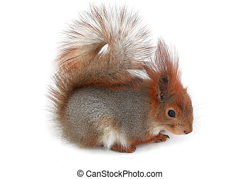 European grey squirrel, on a white background