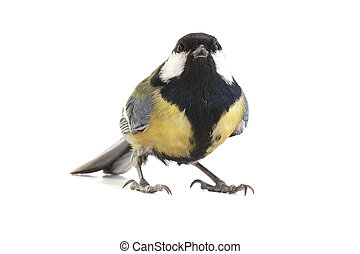 titmouse on a white background