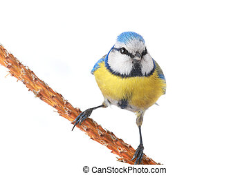 caeruleus titmouse on a white background