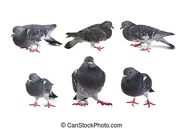 gray dove - pigeons on a white background