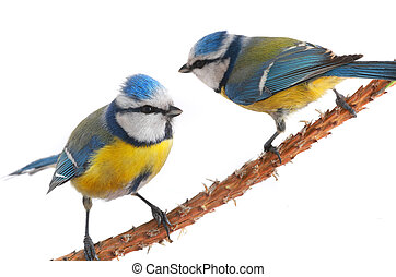 two caeruleus titmouse