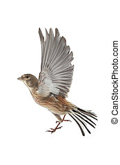 linnet - linnet before flight on a white background