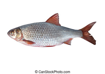 fish rudd on a white background...