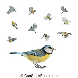 caeruleus titmouse - version of flight of a titmouse