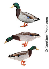 wild duck on a white background