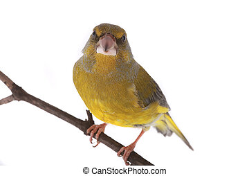 Greenfinch - European Greenfinch isolated on a white...
