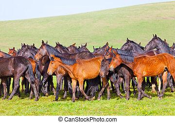 Herd of horses on a summer pasture. Caucasus,...