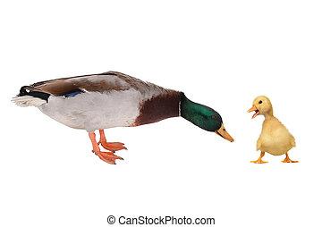 wild duck on a white background
